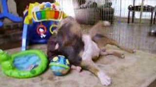 AMERICAN IRON KENNELS 'BABY ATTACKS PIT BULL'