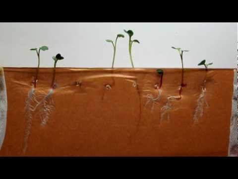Time-lapse of Radish seeds (dark brown background)