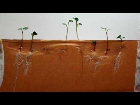 Time-lapse of Radish seeds (dark brown background)