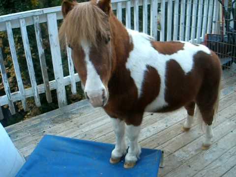 Smart Mini Horse