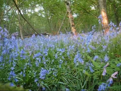 A walk through an English Bluebell wood, Spring 2009