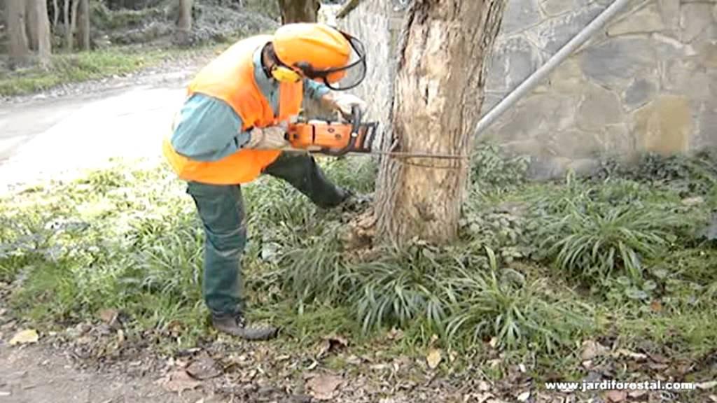 C mo talar un rbol con motosierra trabajos forestales y for Como talar un arbol