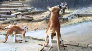 The quarrel of a kangaroo1