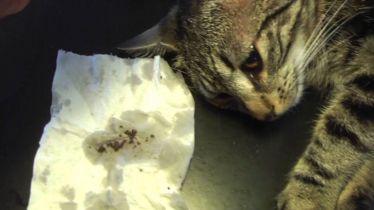 Kill Ear Mites In Cats Naturally