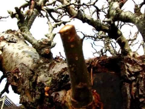 Pruning Apple Trees- What NOT to do in winter