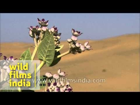 Calotropis procera or accra flowers - an offering to Shiva