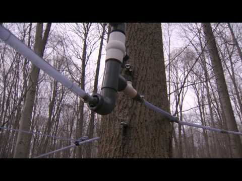 Maple Syrup Season in Ontario