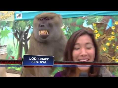 Lucu Kocak reporter Tv lagi presentasikan biantang Monyet Babon ( Baboon), sengaja atau tanpa sengaja pegang payudara si reporter, wajah si babon langsung orgasme.hahaha