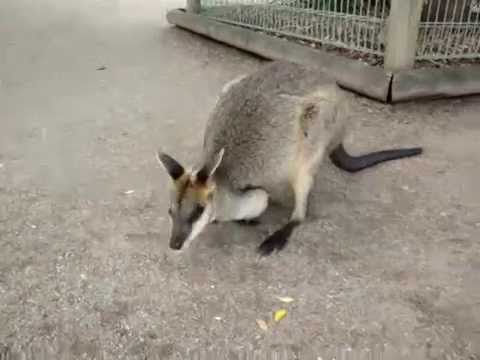 Wallaby - Featherdale Wildlife Park - Australia