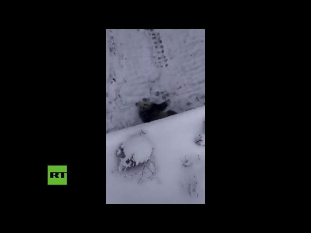VIRAL: Se divierte como un niño un Panda gigante ¡sensación en internet por jugar con la nieve!