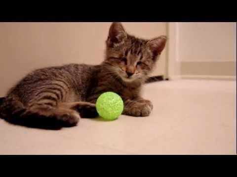 Chú Mèo Mù Bẩm Sinh Chơi Đùa Với Quả Bóng, Nhìn Thương Quá :(