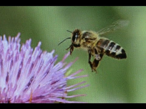 Beekeeping: What Temp. do Honeybees Fly?