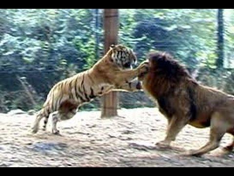 Ai mạnh hơn ai...chúa sơn lâm vs chúa tể rừng xanh. Trâu bò đánh nhau ruồi muỗi chết