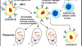 Respuesta inmune - Respuesta inmune humoral