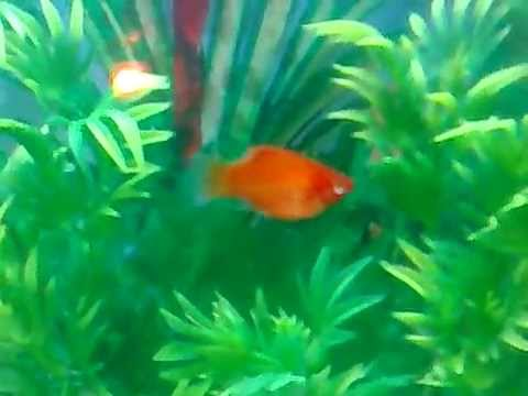 how to tell if platy fish is pregnant