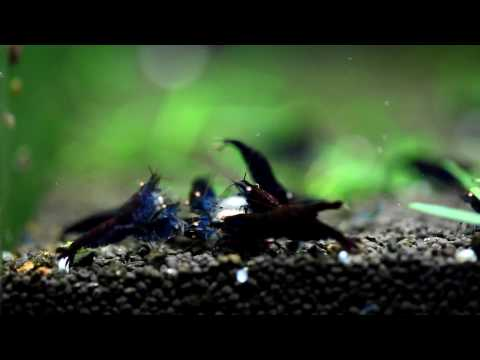 Blue&Black Tiger Shrimp Hybrid