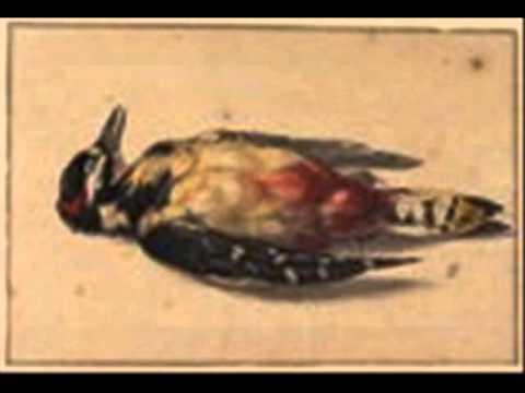 Endangered Animals - Ivory Billed Woodpecker - Kopacko
