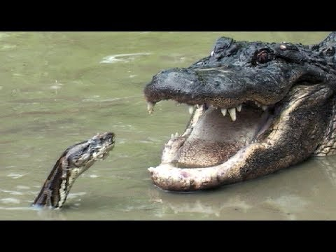 Crocodile vs alligator fight - photo#25