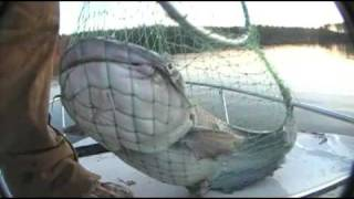 Catfishing AWESOME BIG BLUE CATFISH CAUGHT ON WIMPY BASS