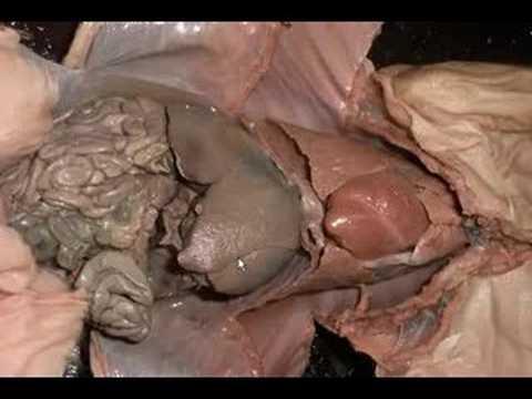Fetal Pig Stomach Diagram Diagram Pig Digestive System Human