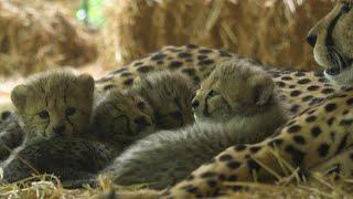 4 أشبال من الفهد المهدد بالانقراض تبصر