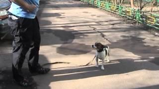 Как отучить собаку тянуть поводок и научить собаку