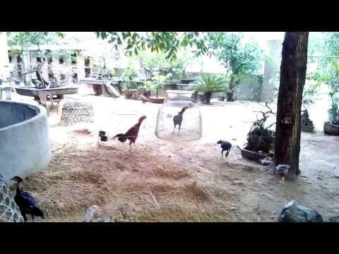 Trại Gà Nòi Lớn Nhất Việt Nam