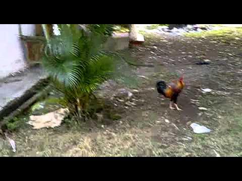 Ayam kampus fip plb unm 2014