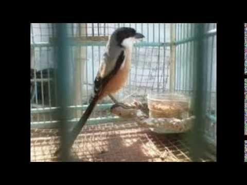 Cara Merawat Burung Pentet Agar Cepat Jinak