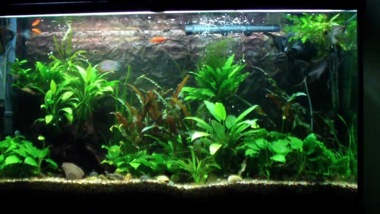 Freshwater Aquarium With Clown Pleco Angelfish Gourami