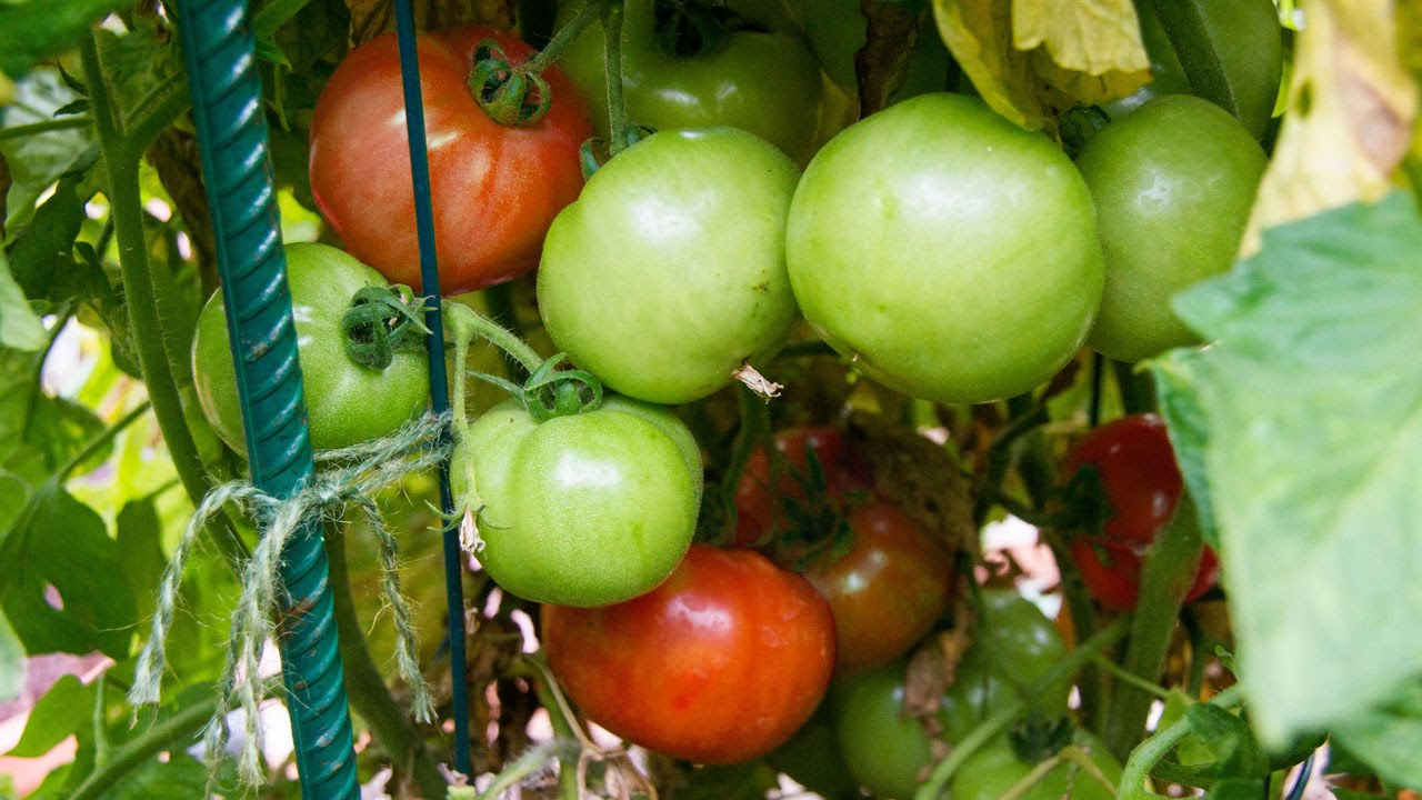 growing tomatoes in containers best tips advice youtube. Black Bedroom Furniture Sets. Home Design Ideas