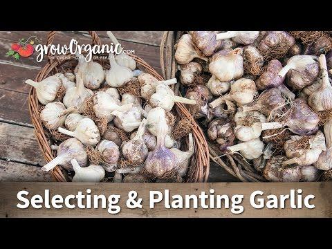 Selecting and Planting Garlic
