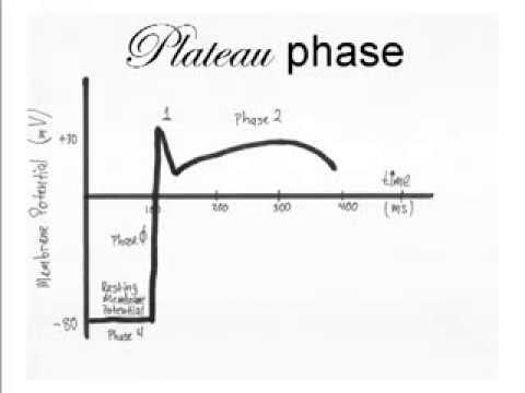 Cardiac Action Potential Animation Cardiac Action Potential
