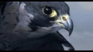 Peregrine Falcon Sky Dive