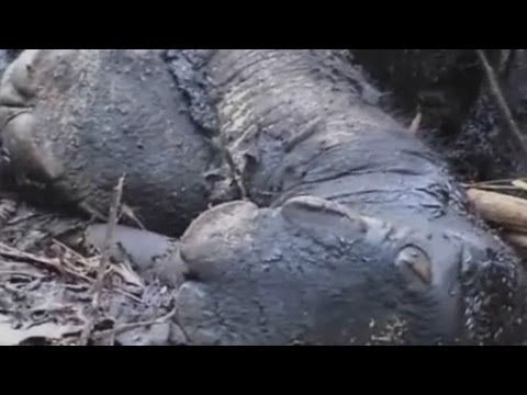 Elephants poisoned by poachers for tusks in shocking video from Indonesia