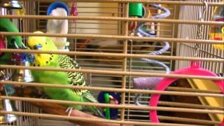 Disco the Parakeet Talks