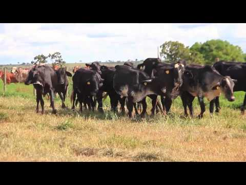 Girolando Fazenda Genipapo