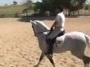 PRE Andalusian stallion for sale - WWW HORSESPRE COM -,Andalusian PRE Lusitano PSL Iberian dressage horses for sale