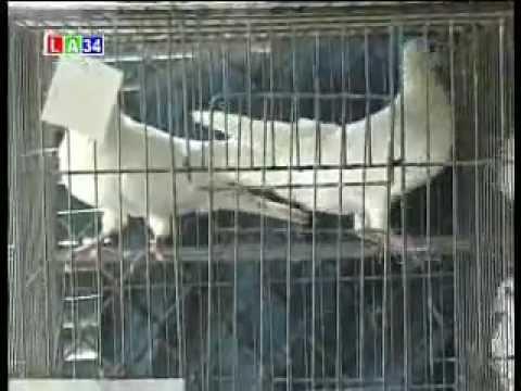 mô hình chăn nuôi chim bồ câu