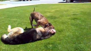 on American pitbull terrier vs german shepherd.play! - YouTube