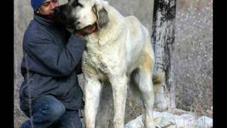 Kurdish KANGAL Vs.English MASTIFF Dog Fight