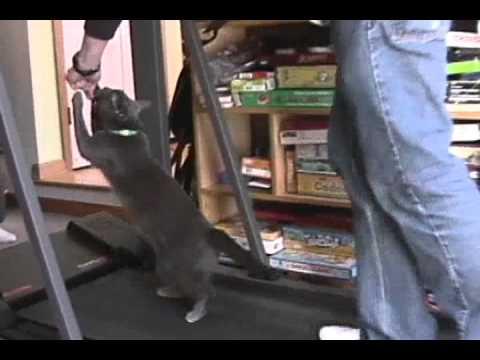 Funny and Crazy Cat Stands & Walks for Food on Treadmill - Dancing for Dinner?