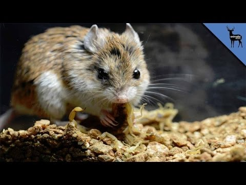 This Mouse Is Immune To Scorpion Venom