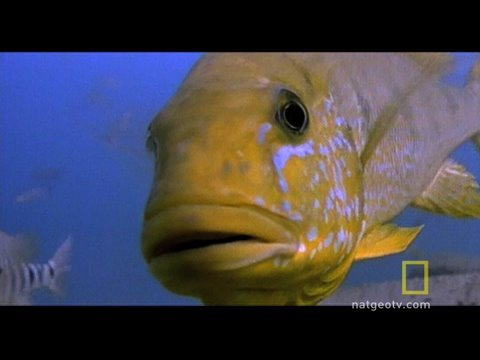 Fish vs. Turtle, Emperor cichlid parents push and shove a much heavier terrapin to protect their young from being eaten.