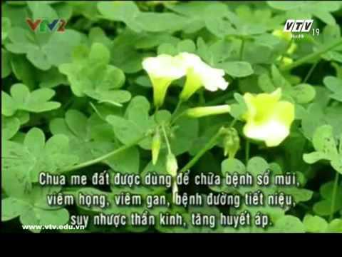 cây thuốc qúy: cây chua me đất