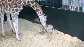 Baby Giraffe First Time Standing..