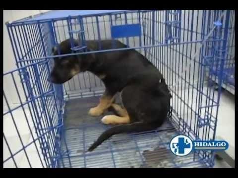 Cachorro con PARVOVIRUS curado en menos de 48 hrs.