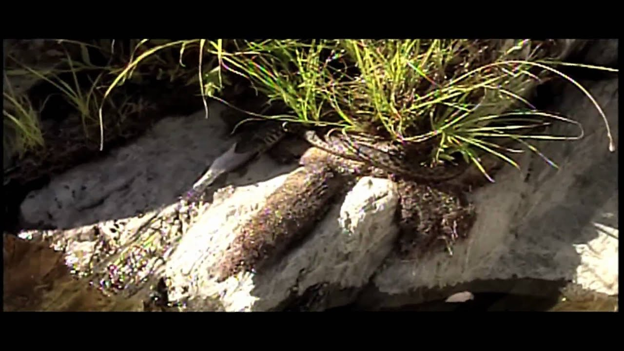 Snake eating fish trout for lunch youtube for Snake eating fish