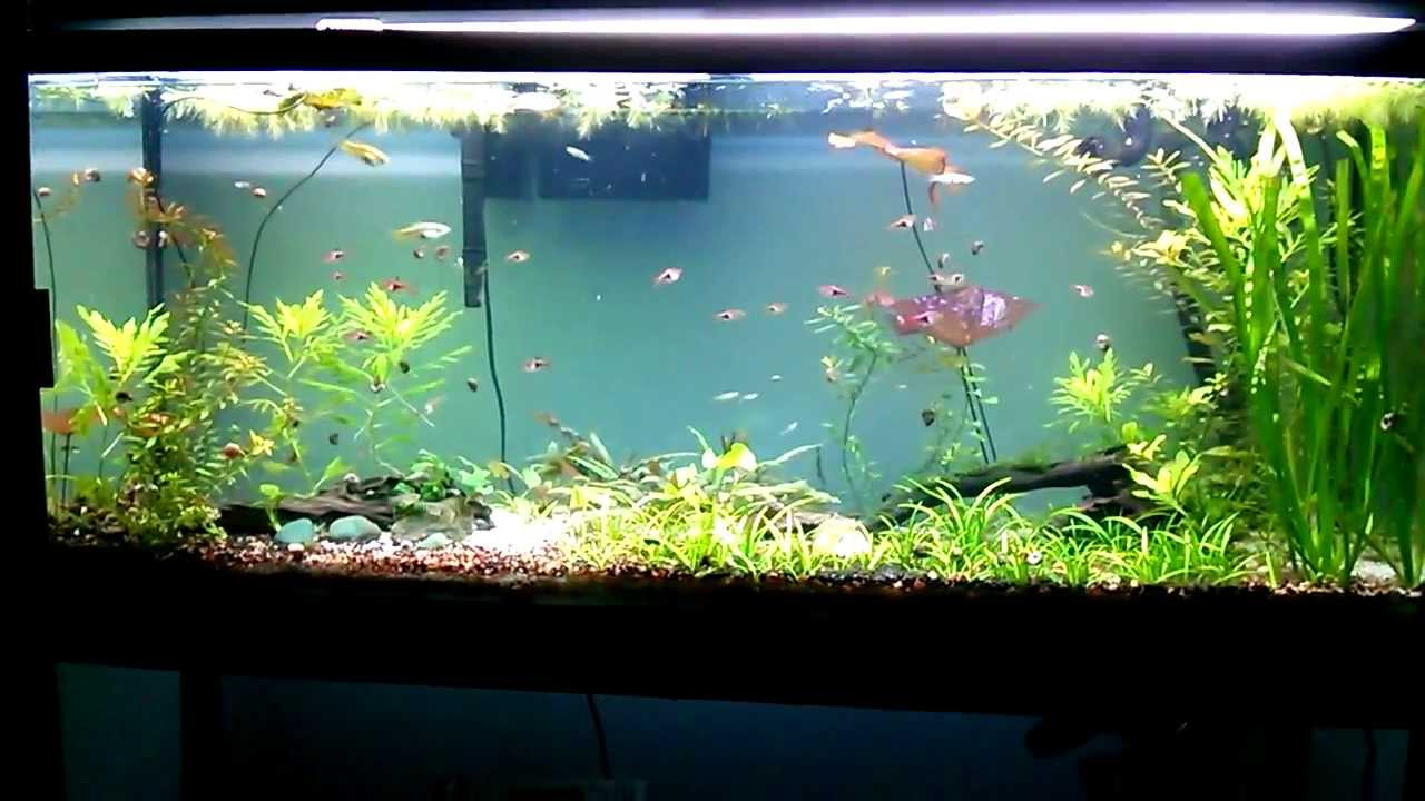 New clown loaches for 55 gallon snail patrol freshwater for 55 gallon fish tank