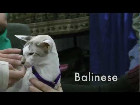Three Asian breeds at NYC cat show